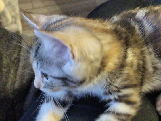 Mein Main Conn Mix Kitten